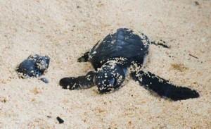 Where Turtles Thrive on Grand Cayman Island