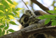 Madagascar is rich with wildlife, including 105 species of lemurs. Photo by Silvia Martin